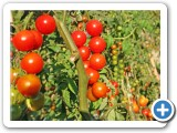 AlegriaFreshTomatoes1WEB